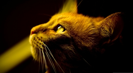 Red cat profile - cute, red cat, wallpaper, pets, cat, cats, animals