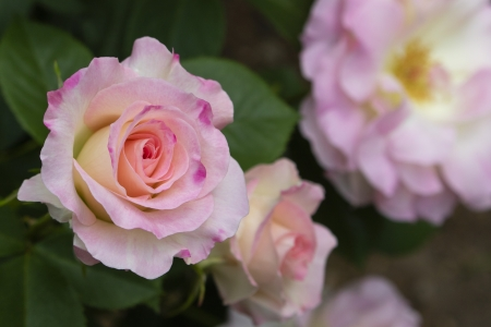 For You - amazing, for you, pink, rose