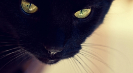 Yellow eyes - cute, wallpaper, black cat, pets, cat, cats, animals