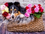 Sheltie dog in a roses basket