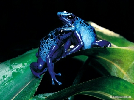blue dart frogs - frog, dart, leaf, blue