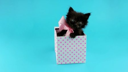 :) - bow, pink, gift, cat, kitten, birthday, box, sweet, cute, pet, blue
