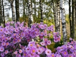Asters and Birches