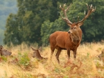 Red Deer Stag & His Hinds