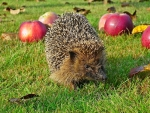 Hedgehog and Apples