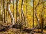 Curved Aspens, Colorado