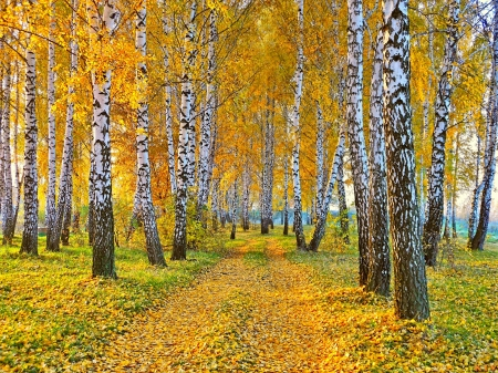 Birch Forest in an Autumnal setting - road, trees, pretty, rural, autumn, HD, birch, country, photography, path, nature, forests