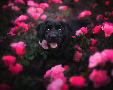 Cute Dog - black, cute, dog, animals