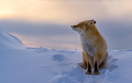 Fox - Fox, nature, snow, winter
