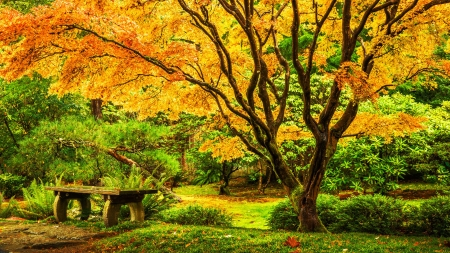 Japanese maple tree - rest, fall, USA, autumn, japanese, maple, botanical, Washington, bench, park, foliage, leaves, tree, Seattle, garden