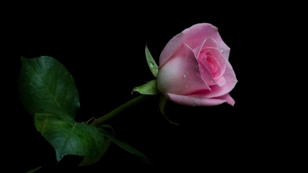 For You - you, pink, rose, love