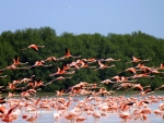 flamingo migration