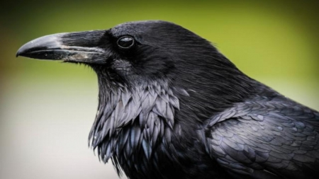 raven - face, raven, bird, animal