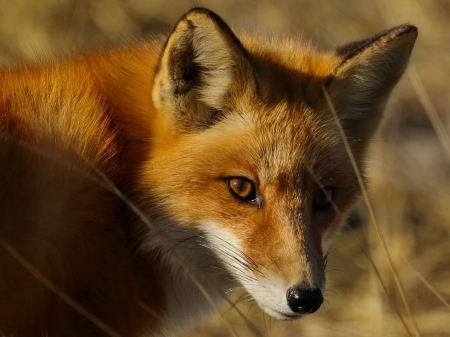 red fox - red, face, fox, canine