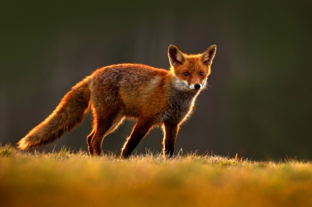 red fox - red, fox, field, canine