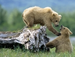 Spirit Bear Cubs Play Fighting