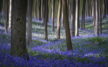 Bluebells carpet the forest floor - nature, trees, forest, cool, flowers, fun