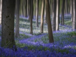 Bluebells carpet the forest floor