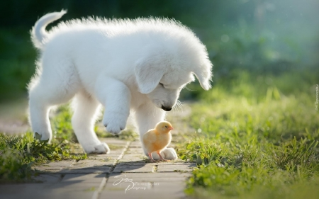 Puppy and Chicken