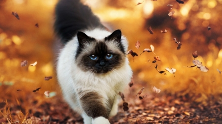 Siamese - cat, siamese, autumn, orange, toamna, pisici, leaf