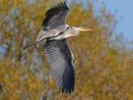 Grey Heron (Ardea cinerea) in flight