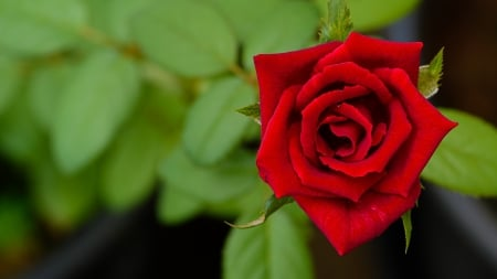 Red rose - Rose, Flowers, Leaves, Bokeh
