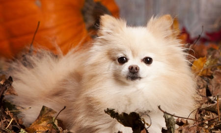 Autumn Pom - autumn, leaves, orange, pom, adorable, cuddly, pomeranian, 3012x1814, cute, pumpkin