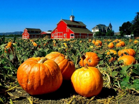Pumpkin Field - autumn, sky, barn, pumpkins