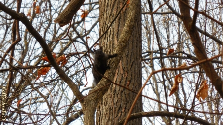 You Lookin' at Me? - tree, squirre1, squirrels, wild, black, trees