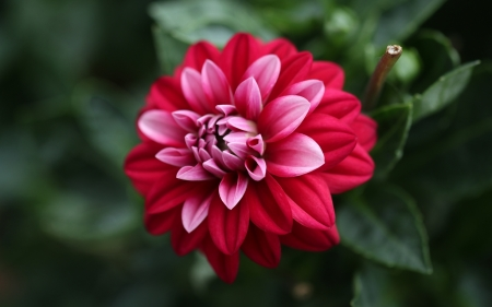 Dahlia - red, flower, nature, dahlia