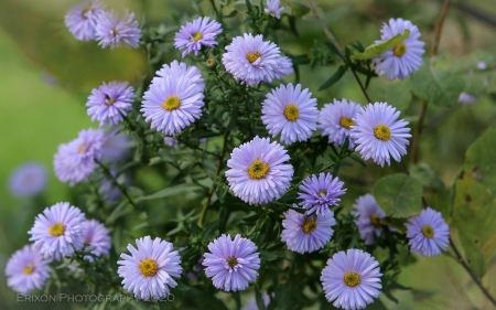 Asters - Latvia, flowers, purple, asters