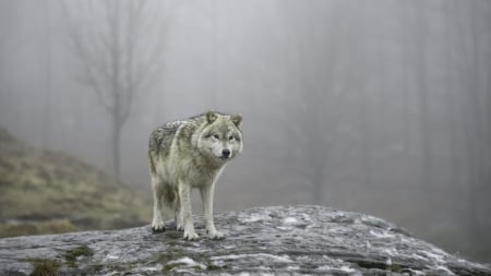Lonely wolf - wilf, wild, animals, wallpaper, wildlife, wolves