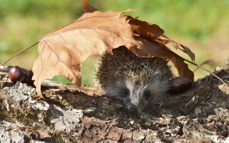 Hedgehog under Leaf
