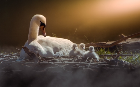 Swan Family - birds, chicks, nest, swans