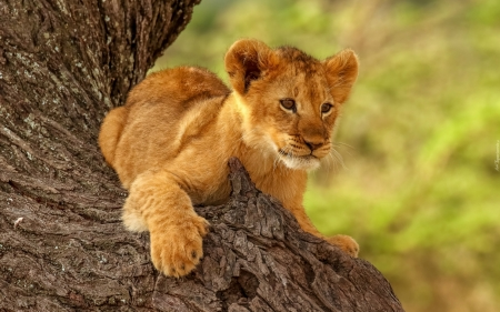 Lion Cub - tree, baby, lion, big wild, cub, cat