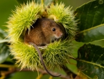 Mouse in Chestnut