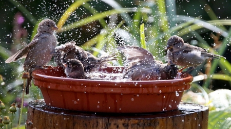 Sparrow's bathing day - garden, funny, water, bowl