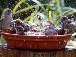 Sparrow's bathing day