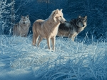 Wolves in the Winter