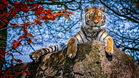 Tiger - animal, red, autumn, rock, view from down, paw, toamna, tiger, sky, leaf, stone, tigru, blue
