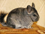 Chinchilla ( Samir)