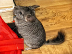 Samir, Chinchilla in flagrant