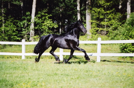 Timber The Friesian - friesland, friesians, black horse, animals, horses