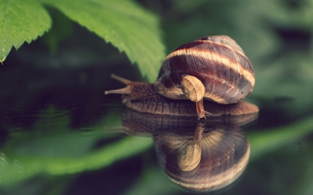 Snail with Baby - baby, snail, animals, water, leaves, macro