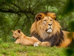 King of Animals with Cub