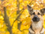 Fall German Sheperd