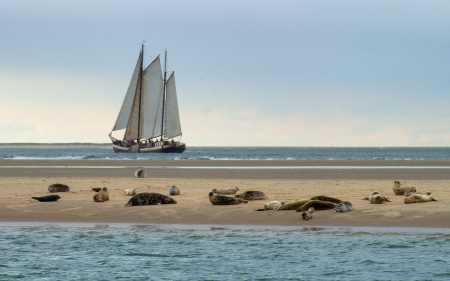 Sailboat and Seals - sea, seals, beach, Netherlands, yacht, sailboat