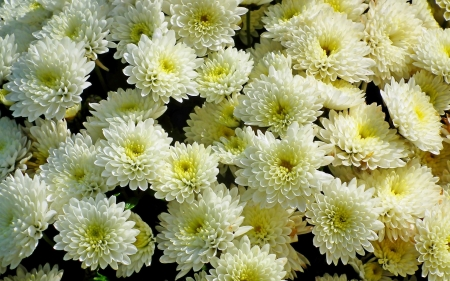 Chrysanthemums - flowers, chrysanthemums, nature, white