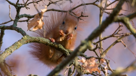 Squirrel - animal, veverita, squirrel, autumn, tree, view from down