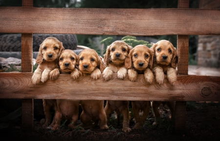 :) - cute, fence, brown, paw, caine, animal, dog, puppy, cocker spaniel